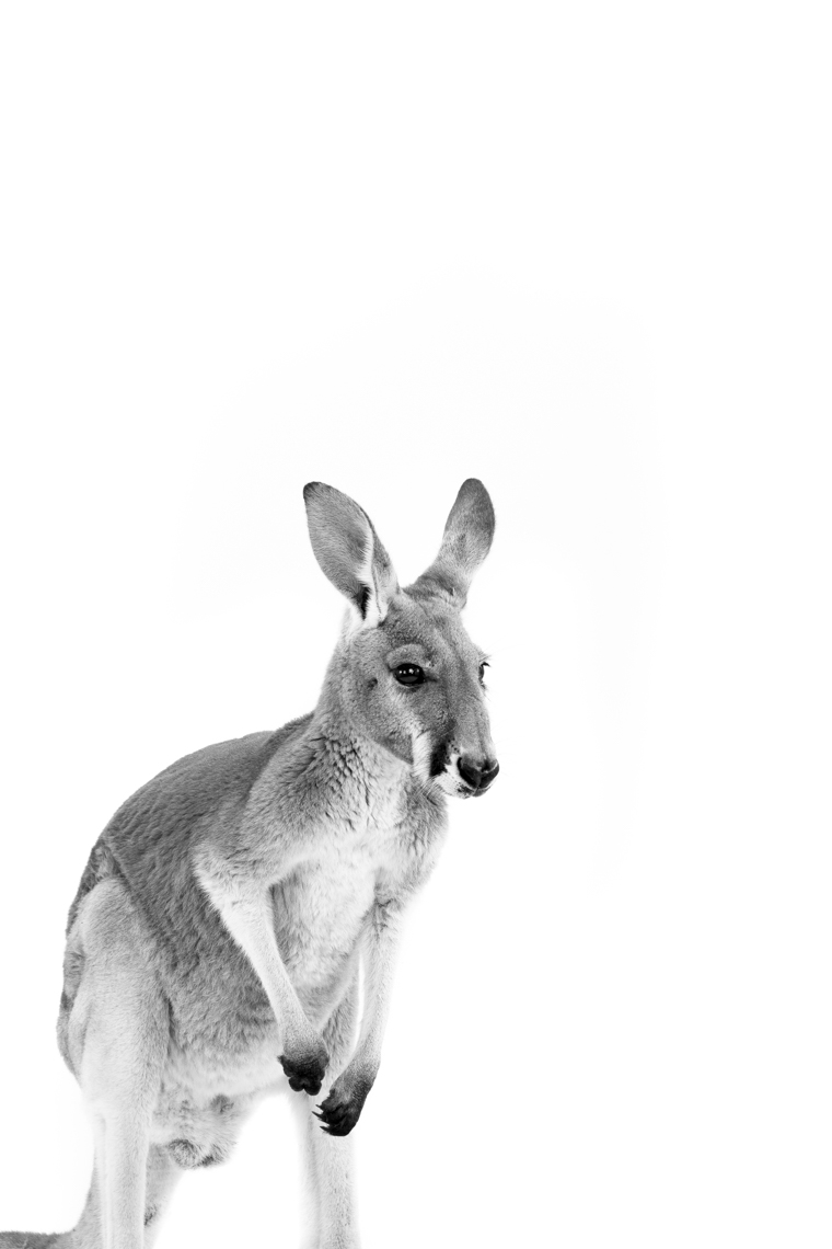 Kangaroo_Facebook_2copy-50